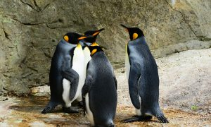king-penguin-384252_1920